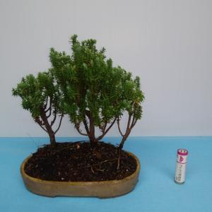 自己流杉の寄せ植え