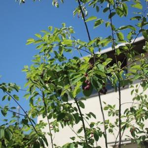 【外構】くしぱん家の植栽はこんなです。