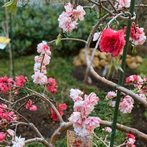 枝垂れ花桃の華やかさ。艶やかさ。