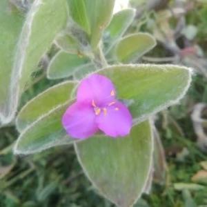 トラデスカンチア・シラモンタナ(白絹姫)が咲いた。