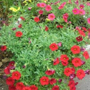 カリブラコア3種類の寄せ植え