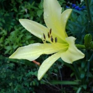 ユウスゲ(夕菅)の花