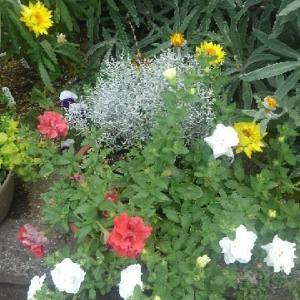 クッションブッシュ&紅白ペチュニアの寄せ植え