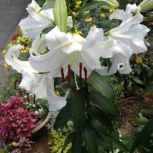 カサブランカが咲いた。