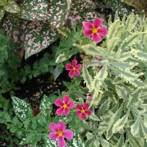 ジャメスブリタニアの花