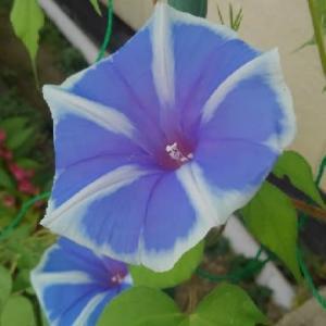 ヨウジロアサガオ(曜白朝顔)の花