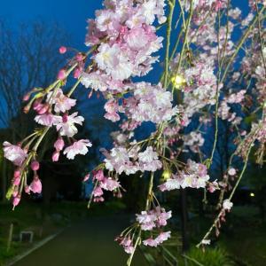 桜ライトアップ@滋賀県 草津市立水生植物公園みずの森