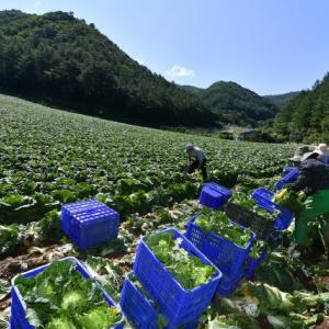 旌善(チョンソン)の夏白菜は台湾へ行きまーす