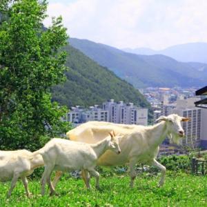 江原道太白(テベク)でアルプスの少女の世界
