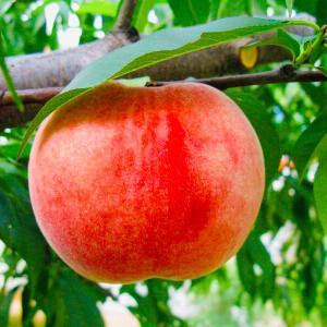 江原道洪川(ホンチョン)のサクサクとした大紅桃