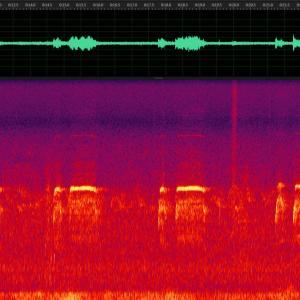 クマタカ 幼鳥 声紋解析