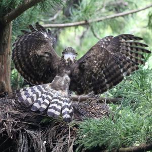 成鳥 幼鳥 翼上面比較