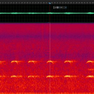 クマタカ 成鳥 声紋解析