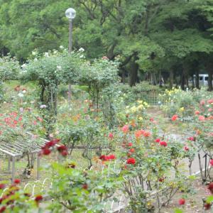 バラの公園散歩