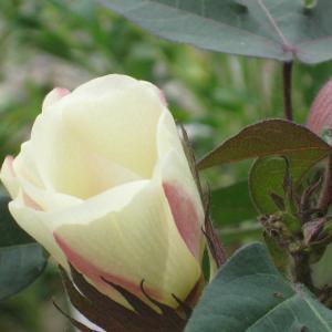 お家遊びと綿の花と庭  祇園天ぷら「八坂圓堂」