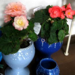 ベコニアがお値打ち品でした。種からの朝顔・庭の様子。陶芸教室記念展が始まる