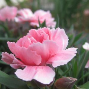 カーネーションの色&今日の庭