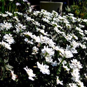 花が沢山咲きました。ムスカリの3段色・ バーベナの切り花用開花