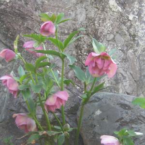 ムスカリバイカラー・ハナニラがいい感じ・シンボル石との花道