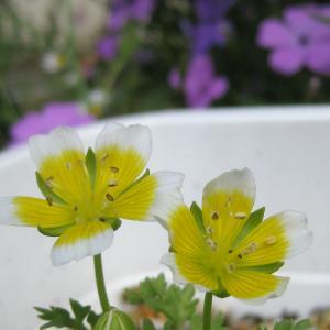 かよわそうな花&オステオスペルマム