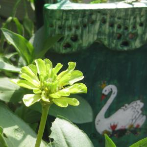 ジニア緑・ペチュニア・デルモホセカ・アメリカンブルー・今日の庭