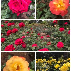 相模原北公園のバラが綺麗