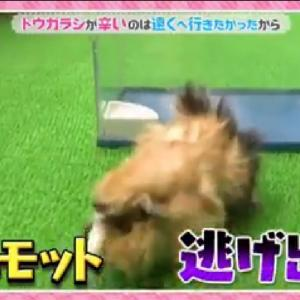 NHKさん、モルモットに唐辛子はだめ!