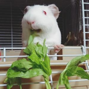 天竺鼠の日