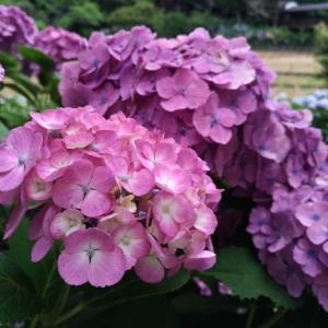 あじさい寺と草団子!千葉県の紫陽花祭りへいってきました(*´▽`*)