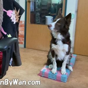 ドッグトレーニング:アイコンタクトが取れなくても犬はちゃんとやってくれますか?