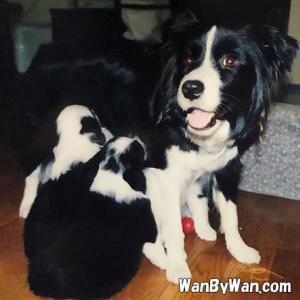 子犬を迎える:ブリーダー心得と飼い主心得