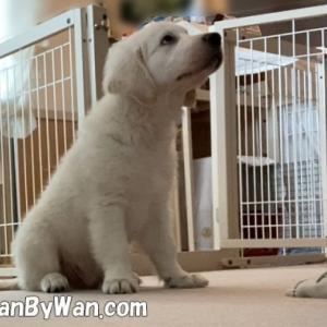 パピーレッスン:子犬の興奮をあげすぎない
