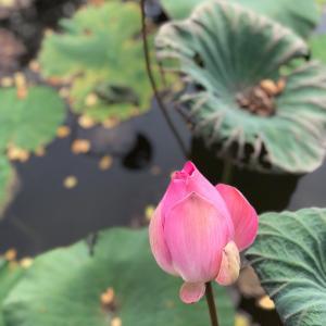 蓮は泥水からしか咲かない