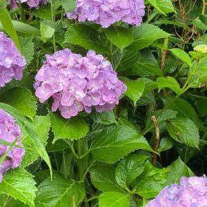 紫陽花が満開