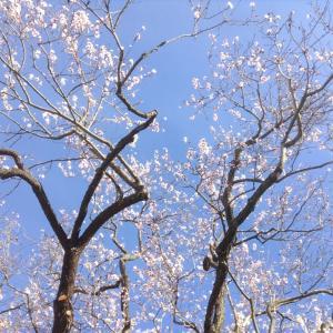 ゴッホがアルルにやってきた2月のアーモンドの花