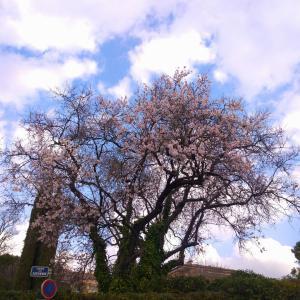 アーモンドの花の季節です