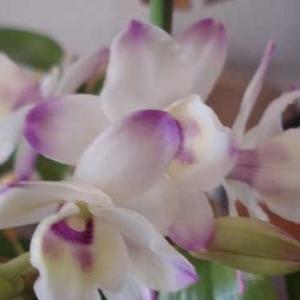デンドロビウム(Dendrobium)