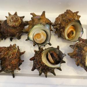 ふるさと納税!隠岐海士町島獲れ活さざえ2kg!良質な日本海流で育った天然さざえ!