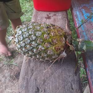 パイナップル農園•初収穫❗