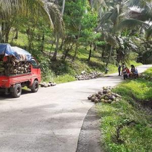 ココナッツ収穫❗