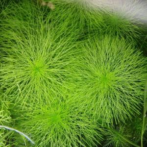 飼い馴らした日本の水草。