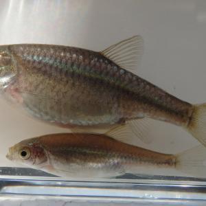 カワバタモロコの老化を抑制して繁殖数を抑える。