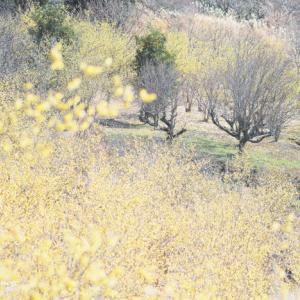 レモン色の春。