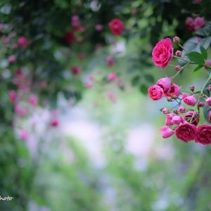 薔薇の世界。