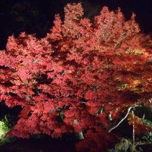 香川では栗林公園のライトアップが始まっていて・・・