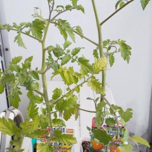 ミニトマト家庭菜園1日目