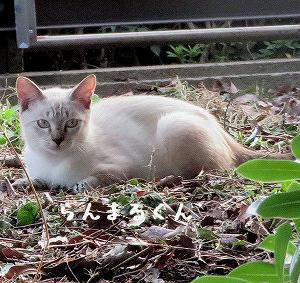 公園入り口にシャムmaxの捨て猫ちゃん、名前はらんまるくん