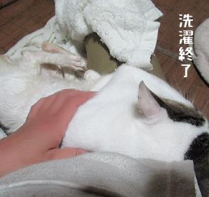 あられ♂ちゃんの洗濯とみんなの爪切り、海に生後1ヶ月すぎくらいの子猫2にゃん