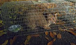 けいじくんの捕獲のつもりが、入ったのは4日前に捕獲したいちごちゃん