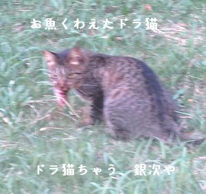 お魚くわえたドラ猫、銀次くん、睨むみこ♂ちゃん